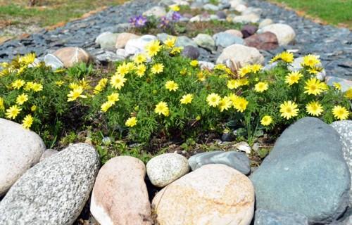алтайские первоцветы2